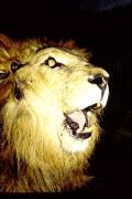 Butch roars (2)
