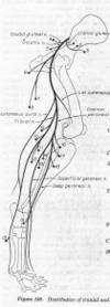 Sciatic_nerve_2